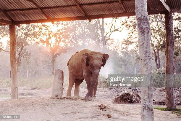 elephant tied up with chain on field - chitwan stock pictures, royalty-free photos & images