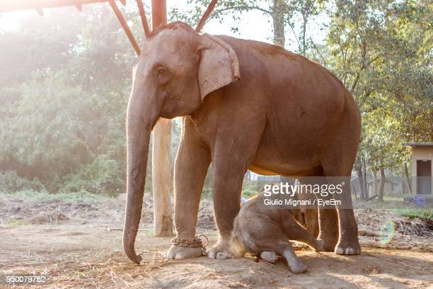 Elephant Trapped In Chain With Calf At Farm