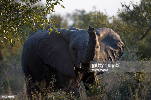 elephant trumpeting, south africa - animal call stock pictures, royalty-free photos & images