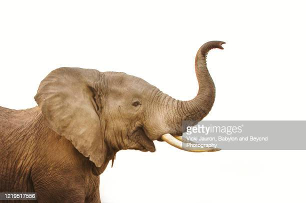elephant trunk and head against white background - ゾウ ストックフォトと画像