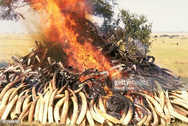 Elephant Tusks Being Burned