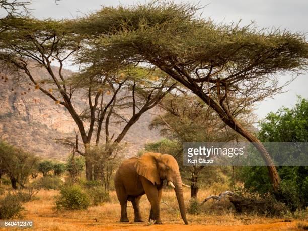 Elephant Under Acacias