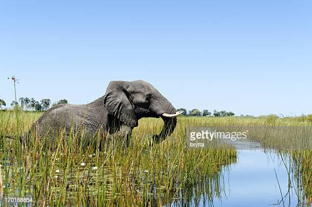 elephant wading in the wetlands, xigera concession,okavango delta,botswana - okavango delta stock photos and pictures