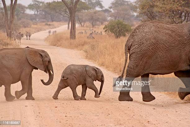 elephant walk - tarangire national park stock pictures, royalty-free photos & images