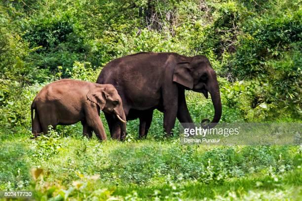 elephant walk - kerala elephants stock pictures, royalty-free photos & images