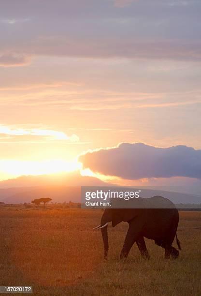 Elephant walking at sunrise