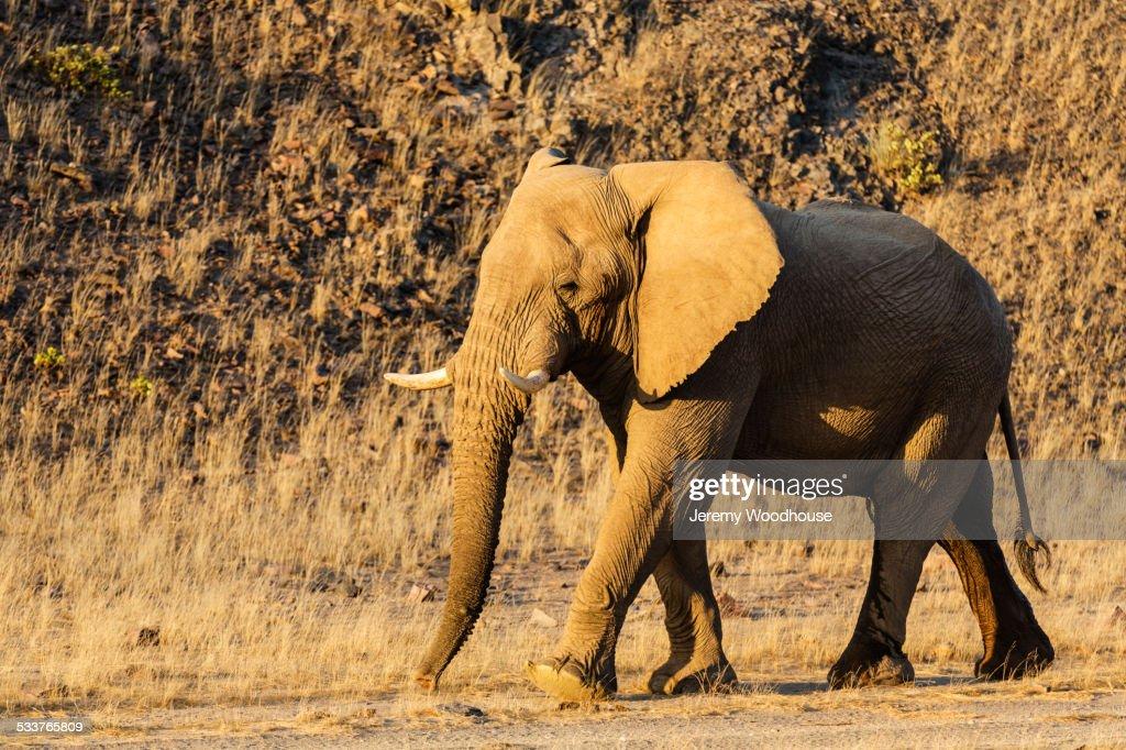 Elephant walking in desert field : Foto stock