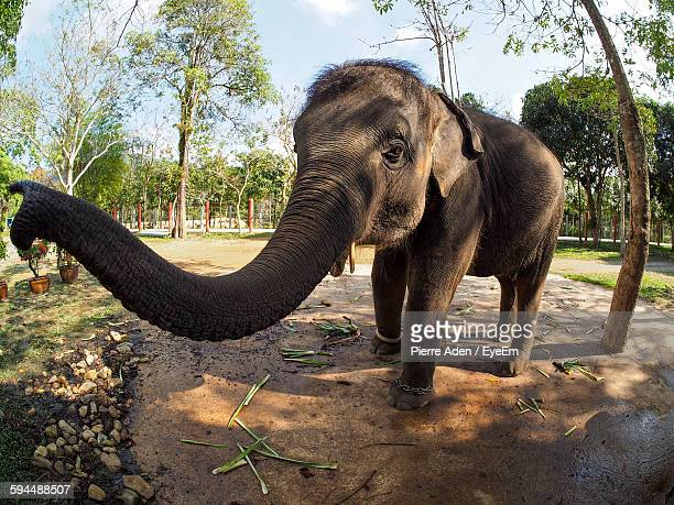 elephant walking in park - asian elephant stock pictures, royalty-free photos & images