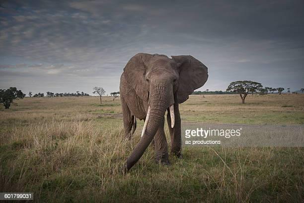 Elephant walking in savanna field