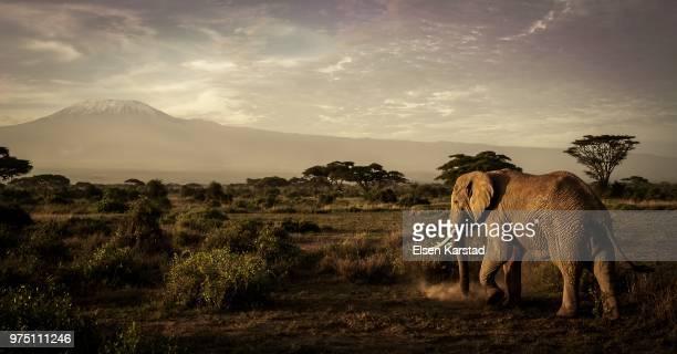elephant walking in savannah, amboseli national park, ngongs, kenya - savannah stock pictures, royalty-free photos & images