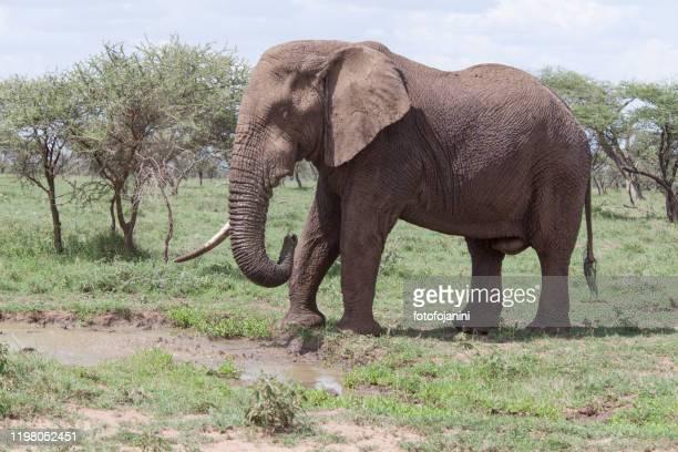 elephant walking in savannah - fotofojanini foto e immagini stock