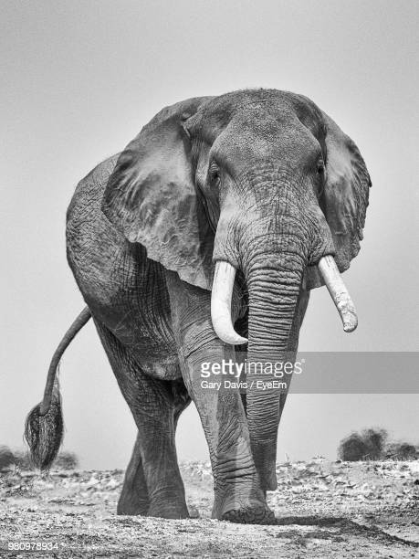 elephant walking on field against clear sky - tusk stock pictures, royalty-free photos & images