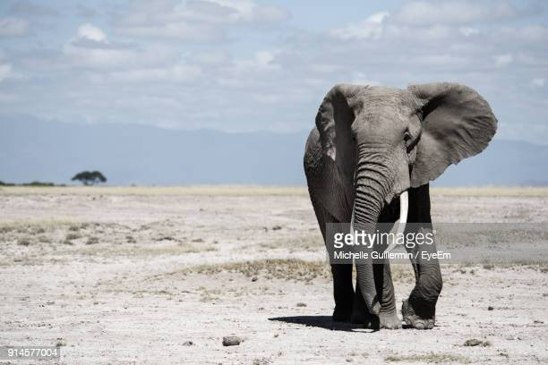 elephant walking on field against sky - elephant stock pictures, royalty-free photos & images