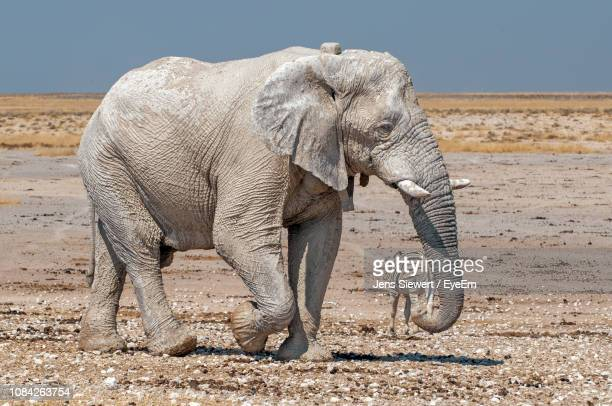 elephant walking on field - jens siewert stock-fotos und bilder