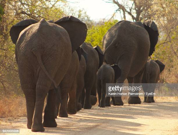 elephant walking on road - medium group of animals stock pictures, royalty-free photos & images