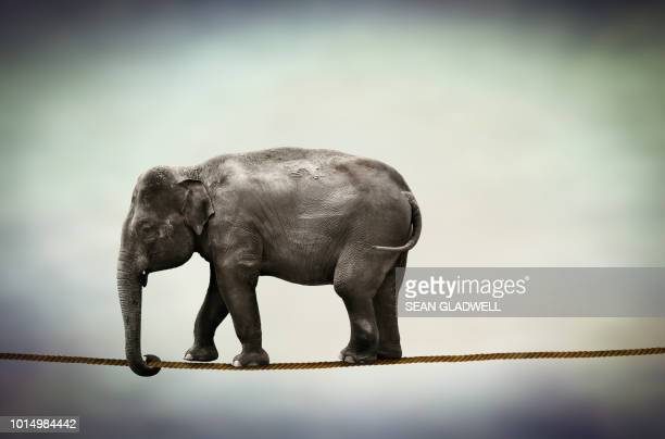 elephant walking tightrope - difficult stock photos and pictures