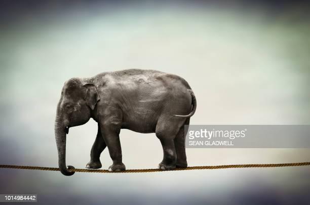 Elephant walking tightrope