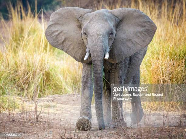 elephant walking with dust at mana pools national park, zimbabwe - african elephant stock photos and pictures