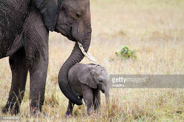 elephant with baby, masai mara, kenya - young animal stock pictures, royalty-free photos & images