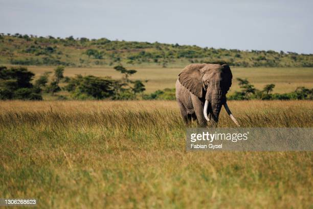 elephant with big tusks in grassland - tusk stock pictures, royalty-free photos & images