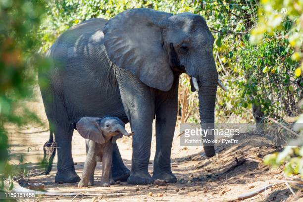 elephant with calf standing at forest - wolke stock pictures, royalty-free photos & images
