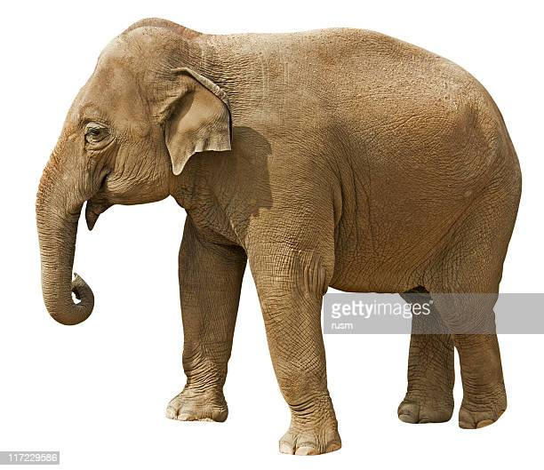elephant with clipping path isolated on white background - asian elephant stock pictures, royalty-free photos & images