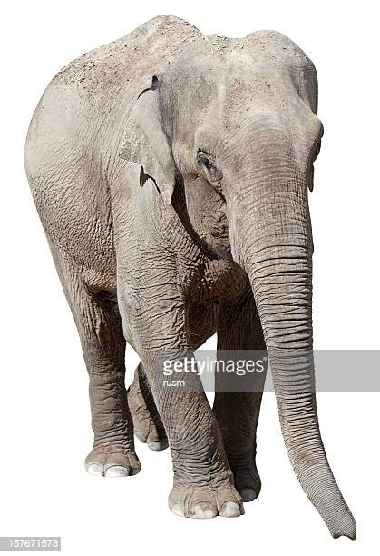 elephant with clipping path on white background - asian elephant stock pictures, royalty-free photos & images