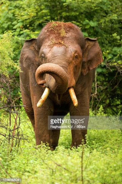elephant with dirt on head looking at camera, masinagudi, tamil nadu, india - images stock pictures, royalty-free photos & images
