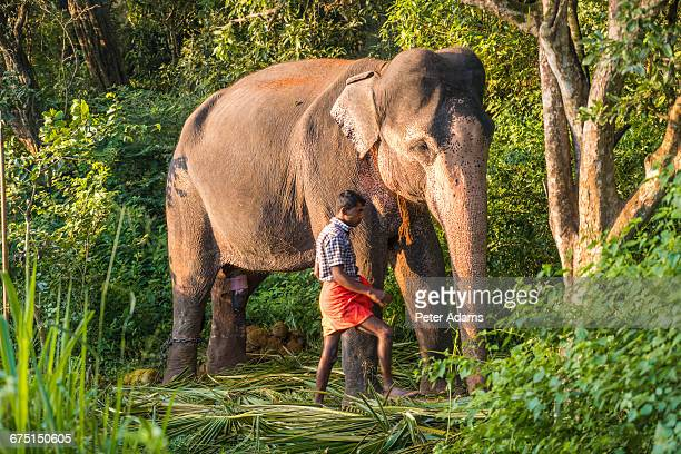 elephant with handler, sigiryia, sri lanka - sigiriya stock photos and pictures
