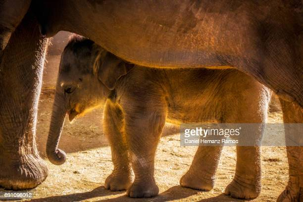 elephant with her calf. alphas maximus - baby elephant stock photos and pictures
