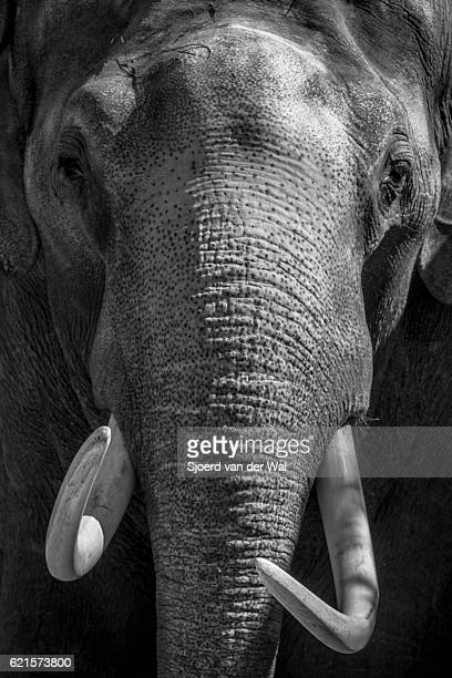 Elephant with large tusks close up in black and white