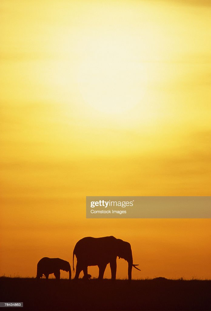Elephant with offspring at sunset , Kenya , Africa : Foto de stock