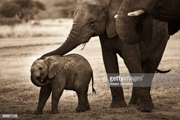 Elephant with offspring