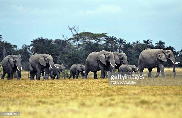 Elephants and calfs walk across the plain on October 8 2013 at Amboseli National Park approximately 220 kms southeast of Nairobi Kenyan and Tanzanian...