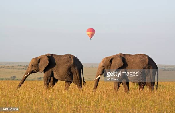 elephants and distant balloon - two animals stock pictures, royalty-free photos & images