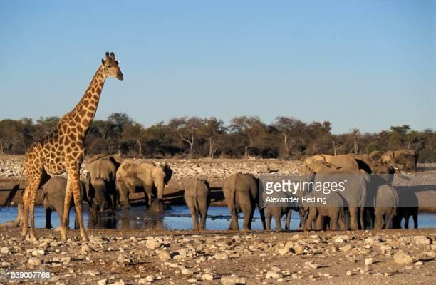elephants (loxodonta africana)and giraffe (giraffa camelopardalis) at a waterhole, etosha national park, namibia - vista lateral stock pictures, royalty-free photos & images