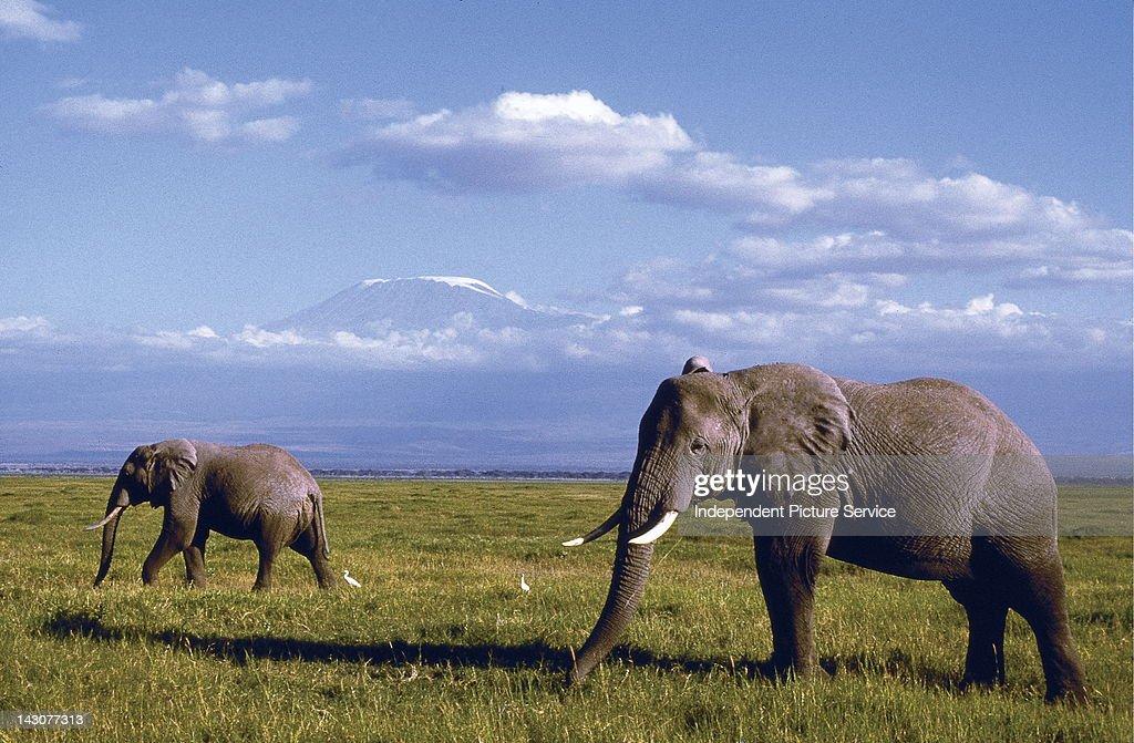 Elephants and Mt. Kilimanjaro in the distance, Kenya.