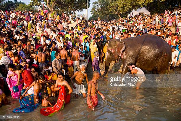 Elephants and pilgrims share the Gandak river banks to bathe and drink water during the month long Sonepur animal fair close to Patna Bihar province...