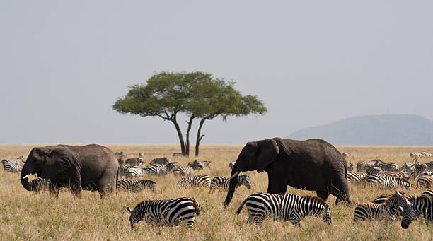 Elephants And Zebra In The Serengeti Wall Art