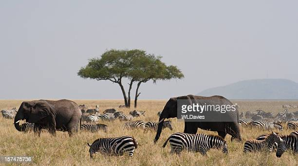 Elephants and zebra in the Serengeti