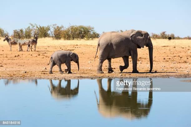 elephants and zebras at etosha, namibia - waterhole stock pictures, royalty-free photos & images