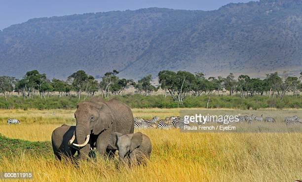 Elephants And Zebras On Grassy Field Against Mountain