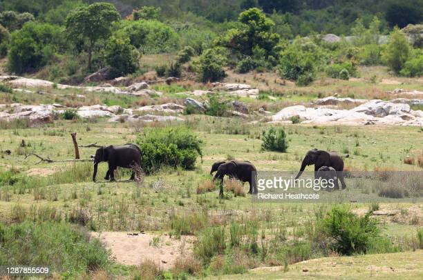 Elephants are pictured in the nearby Kruger National Park during Day One of the Alfred Dunhill Championship at Leopard Creek Country Golf Club on...