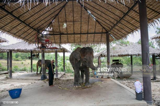 Elephants are seen at a safari park on May 23, 2020 in Hua Hin, Thailand. The deadly coronavirus has badly hit Thailand's tourism sector, and an...