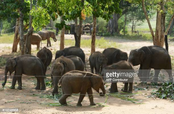 Elephants are seen eating in the elephant transit home at Udawalawe National Park some 210 kilometers south of the Sri Lankan captial of Colombo on...