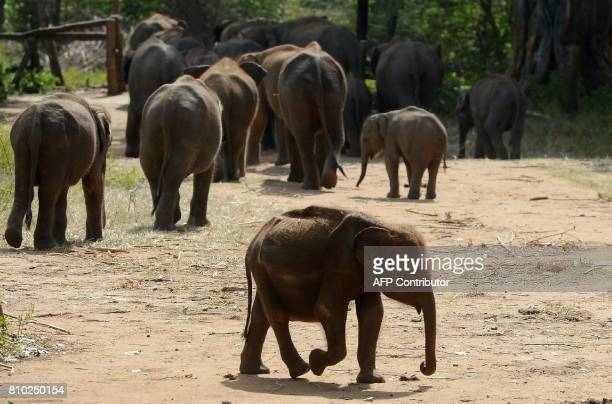 Elephants are seen in the elephant transit home at Udawalawe National Park some 210 kilometers south of the Sri Lankan captial of Colombo on July 7...