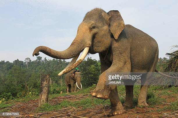 Elephants are trained prior to a daily patrol at a Conservation Respons Unite to control elephanthuman conflicts in Serbajadi East Aceh on April 7...