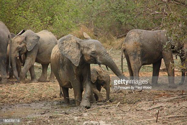 elephants at nazinga - nature reserve stock pictures, royalty-free photos & images