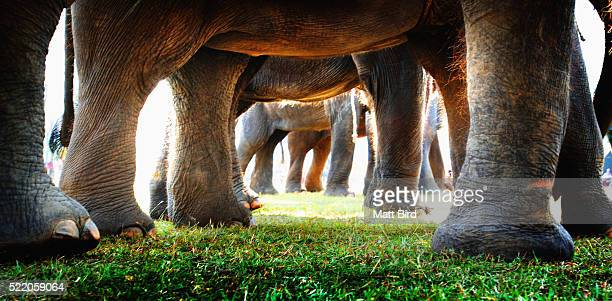 Elephants at the Elephant Polo Championship