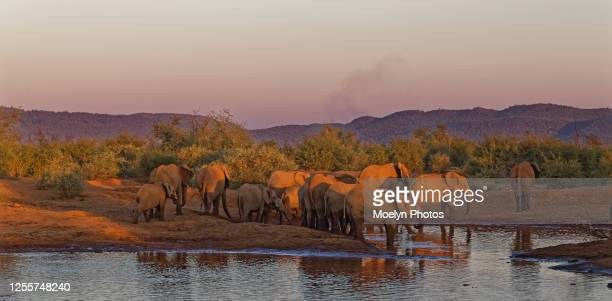 elephants at the water hole early evening - south africa stock pictures, royalty-free photos & images